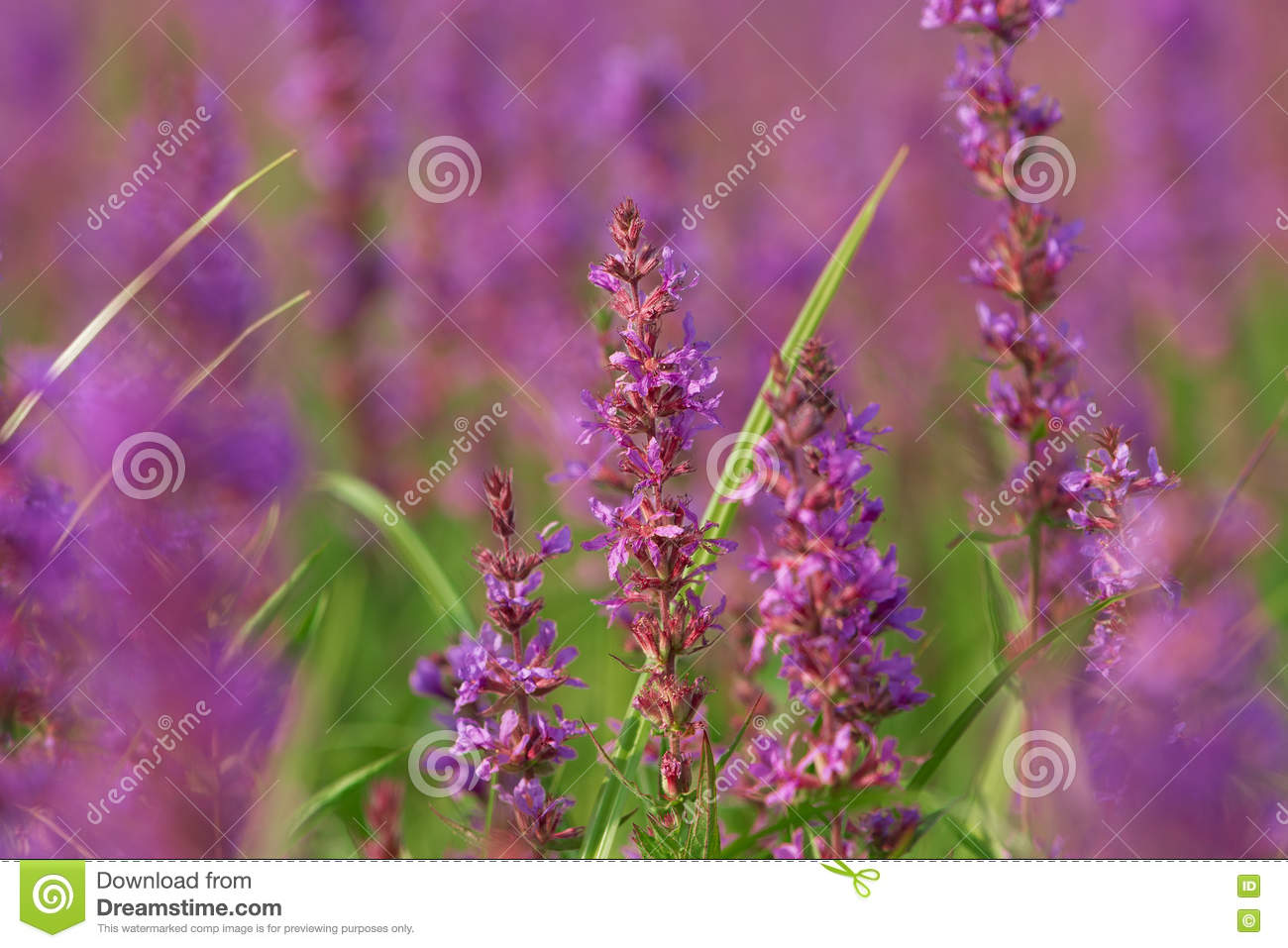 Tall Pink Flowers In Summer Meadow Stock Image Image Of Calm