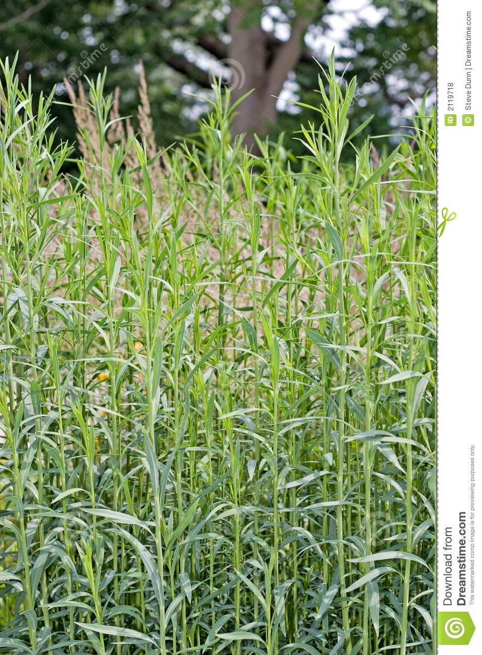 Tall plants royalty free stock photos image 2119718 Long grass plants