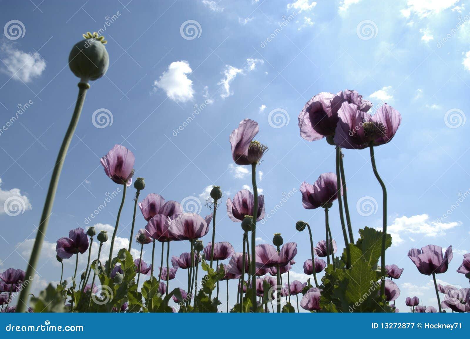 Tall Purple Flowers Stock Photography Cartoondealer Com