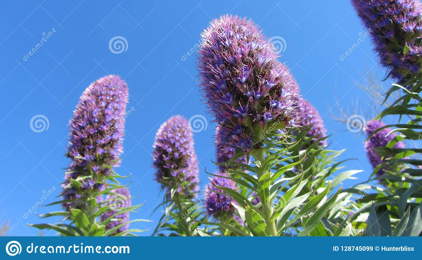 Tall Purple Flowers From Below On Blue Sky Stock Image Image Of