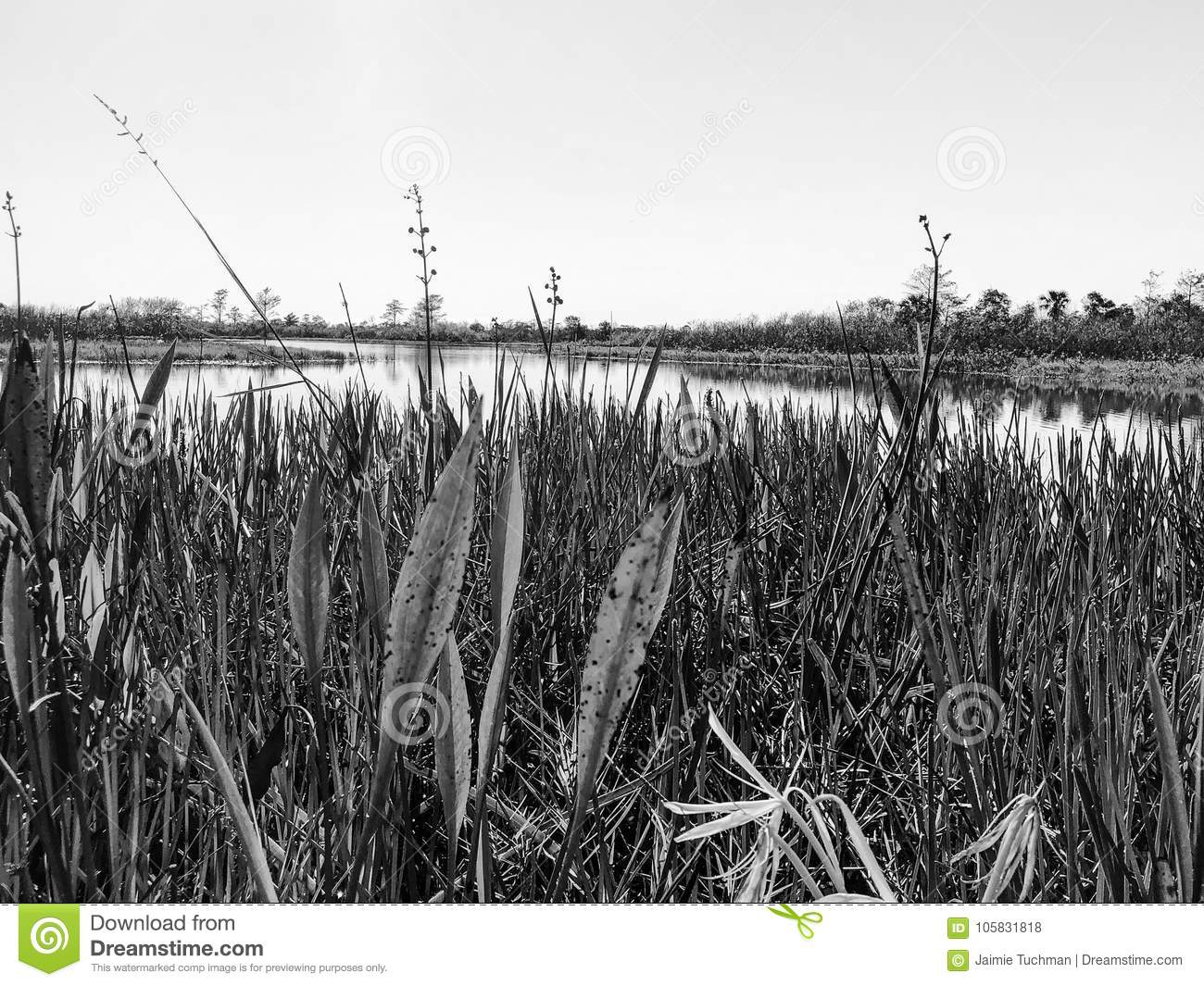 black and white swamp grass