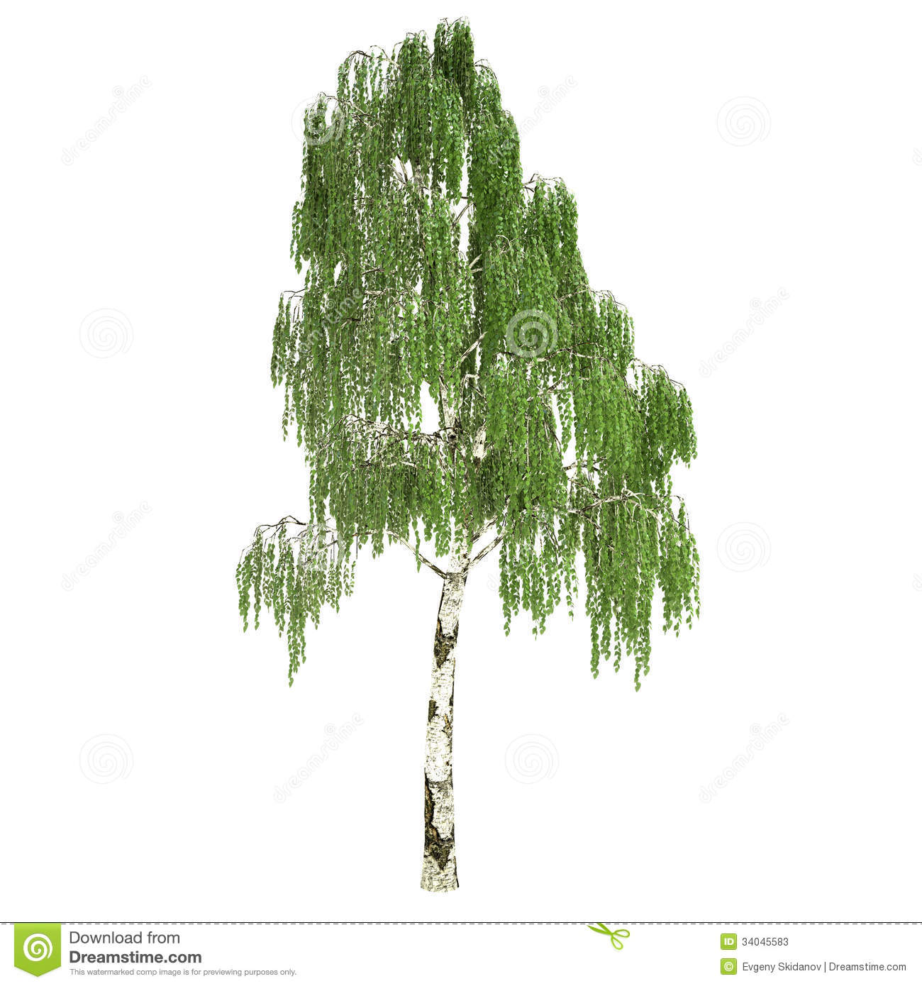 birch tree single women When most people think about birch trees, the attractive white bark common in   bright yellow in the fall, and produce long female and male catkins in autumn,  it  makes a suitable single-trunk specimen with a high tolerance to cold weather.