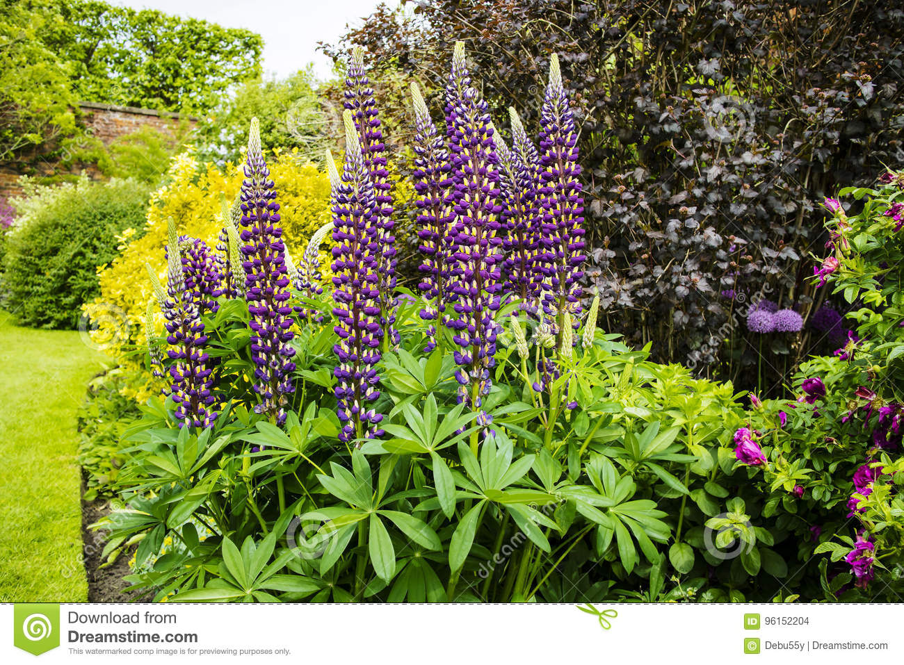 Tall Spikes Of Blue Lupin Flowers In Summertime Stock Photo Image