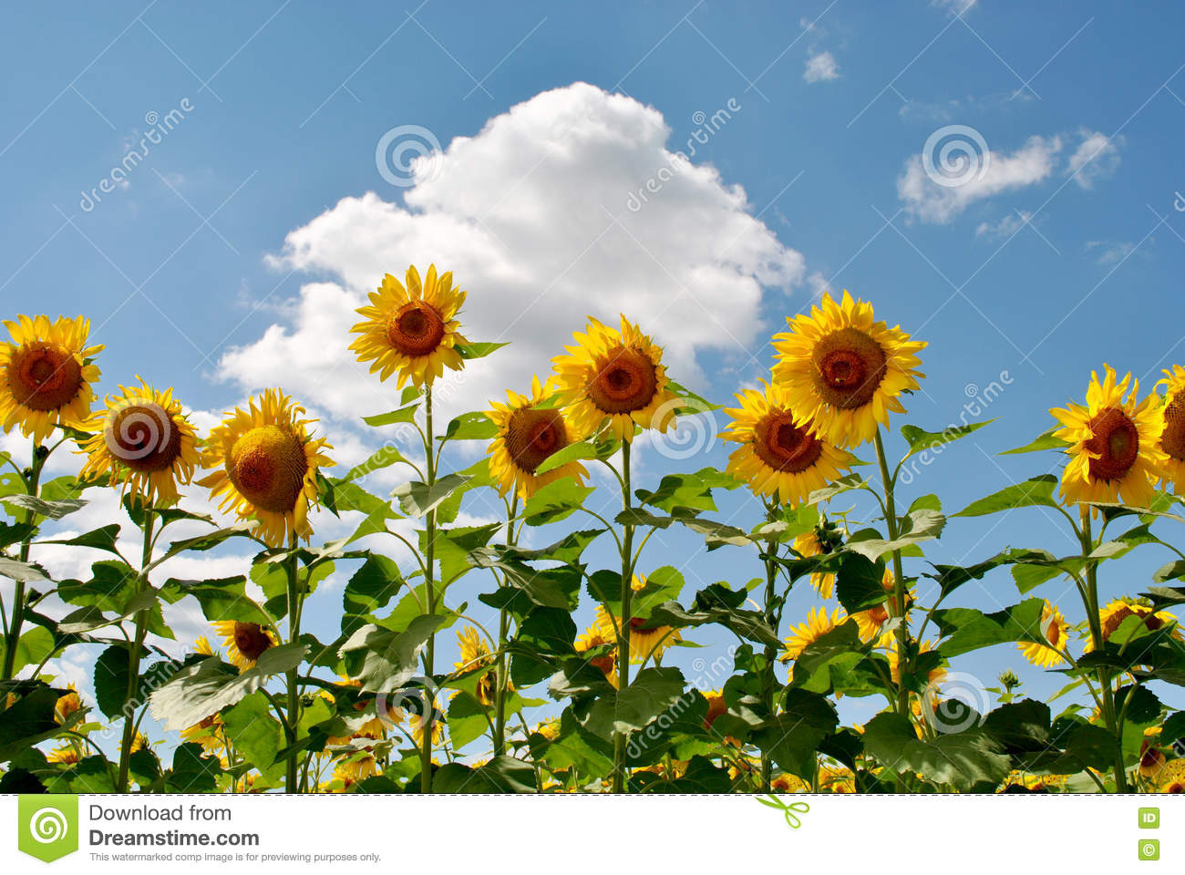 Download Tall Sunflowers stock photo. Image of bloom, many, bright - 78173900