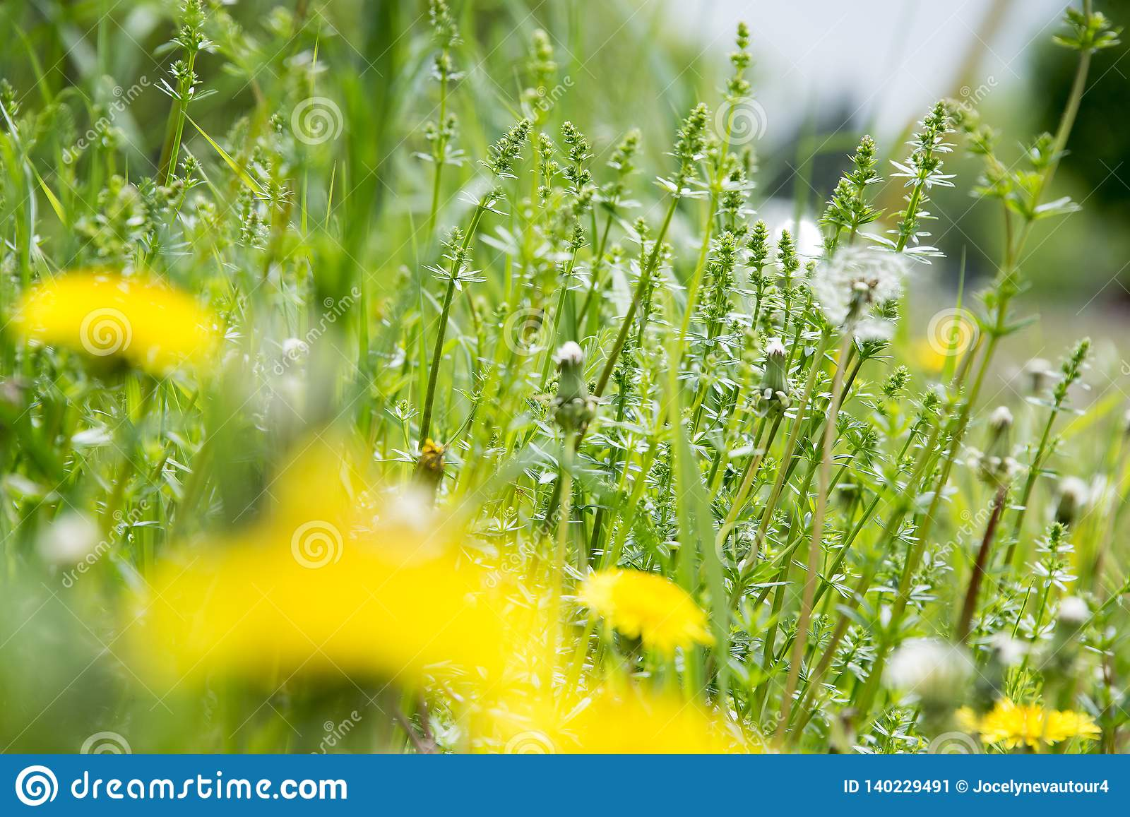 Tall weeds and dandelions