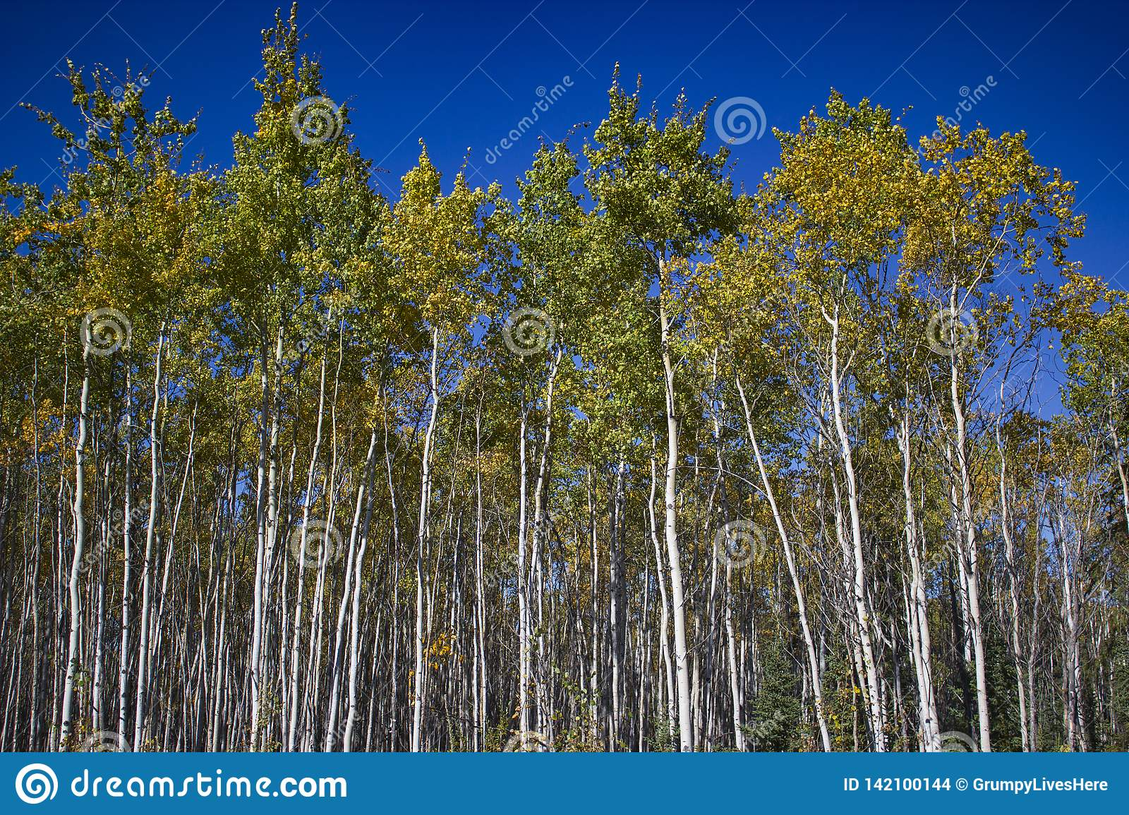 Tall White Birches with colorful leaves & blue sky, Yukon