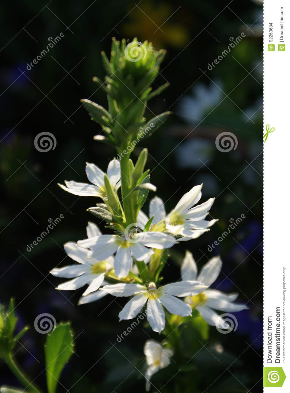 Tall White Flowers Stock Photo Image Of Blooming Growing 92263684