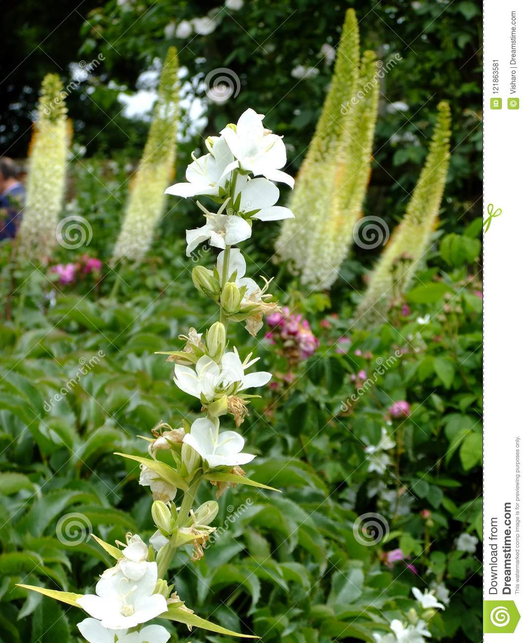 White Tall Flowers Stock Image Image Of Growing Tall 121863581