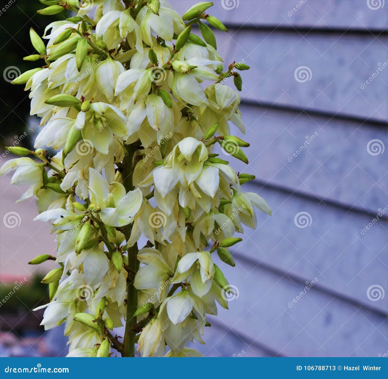 Tall White Flowers Stock Image Image Of Florist Closeup 106788713