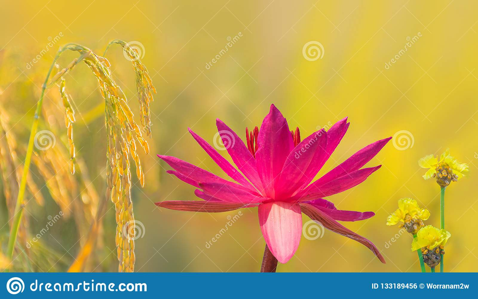 Tall Yellow Eyed Grass Flower Weed Nym Stock Photo Image Of