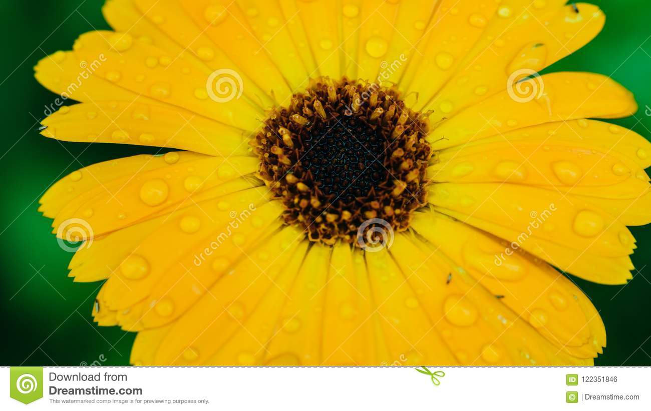 Heliopsis Helianthoides One Yellow Flower Background Perennial
