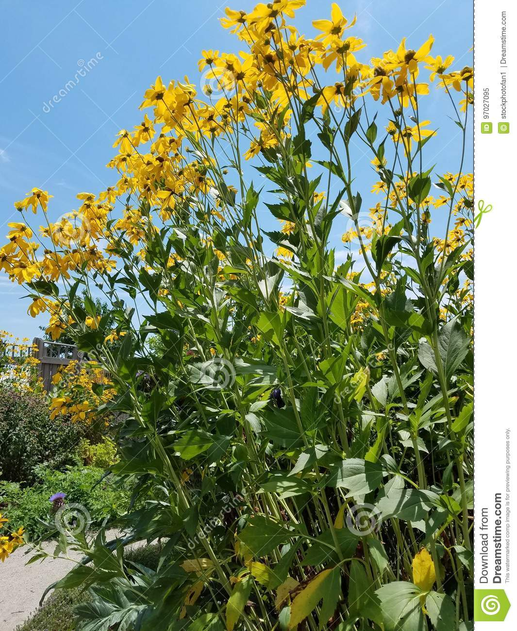 Tall Yellow Flowers With Green Leaves Stock Image Image Of Outside