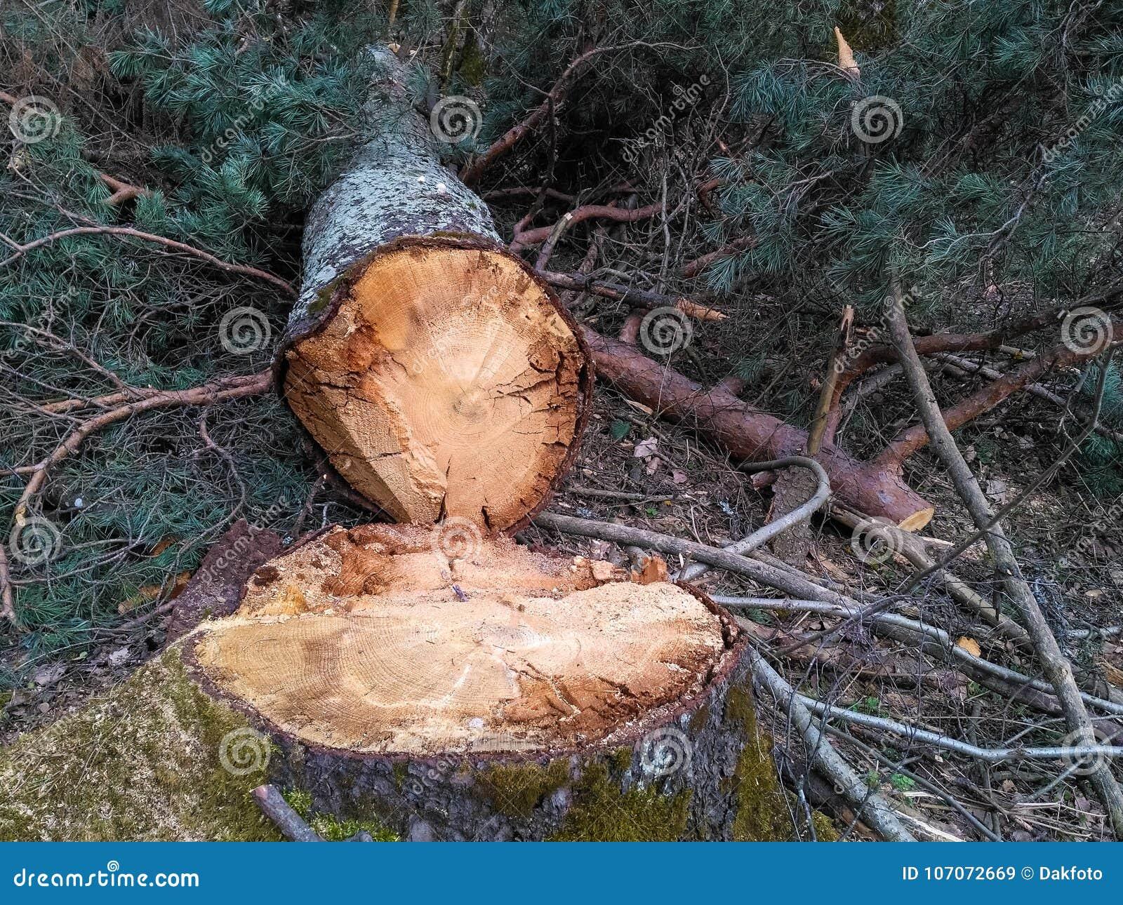 Tallinn, Estonia, il 4 aprile 2017 - taglio degli alberi del parco nella città La capitale dell Estonia è molto verde