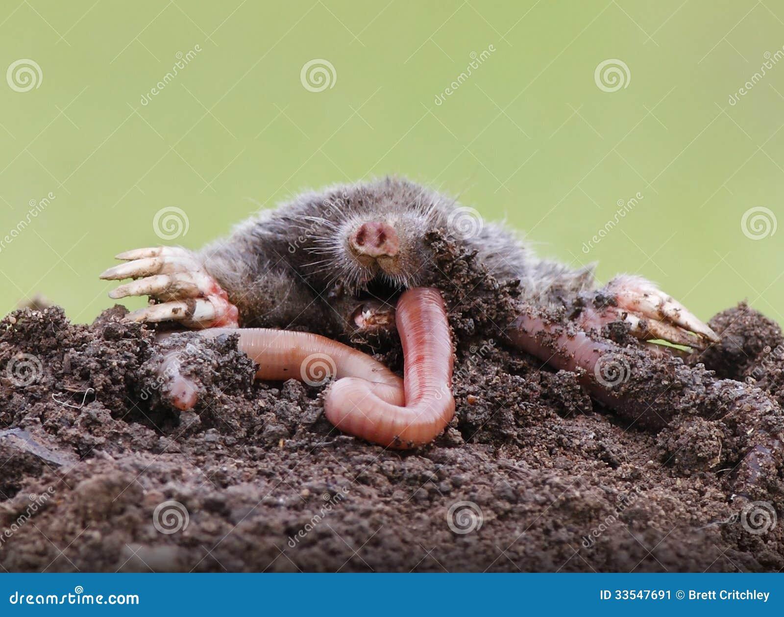 Talpa che mangia lombrico immagine stock immagine 33547691 - Cosa mangia un cucciolo di talpa ...