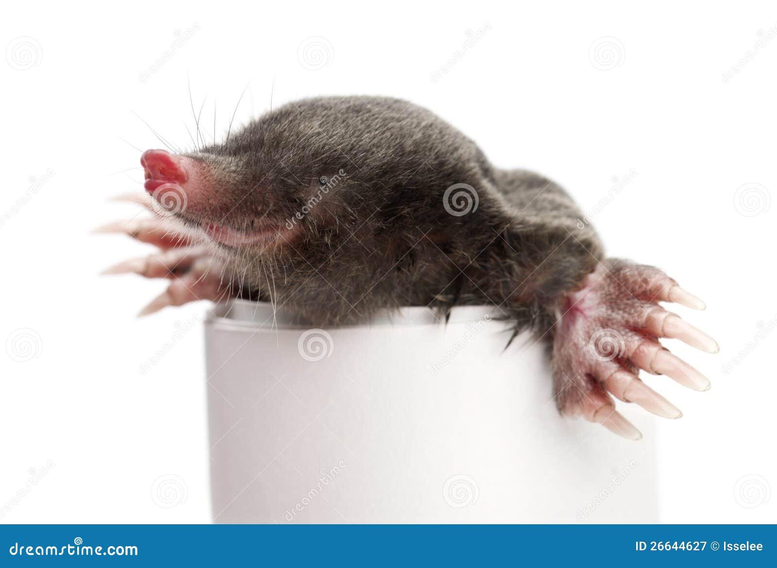 Talpa europea europaea di talpa immagine stock immagine for Talpa mammifero