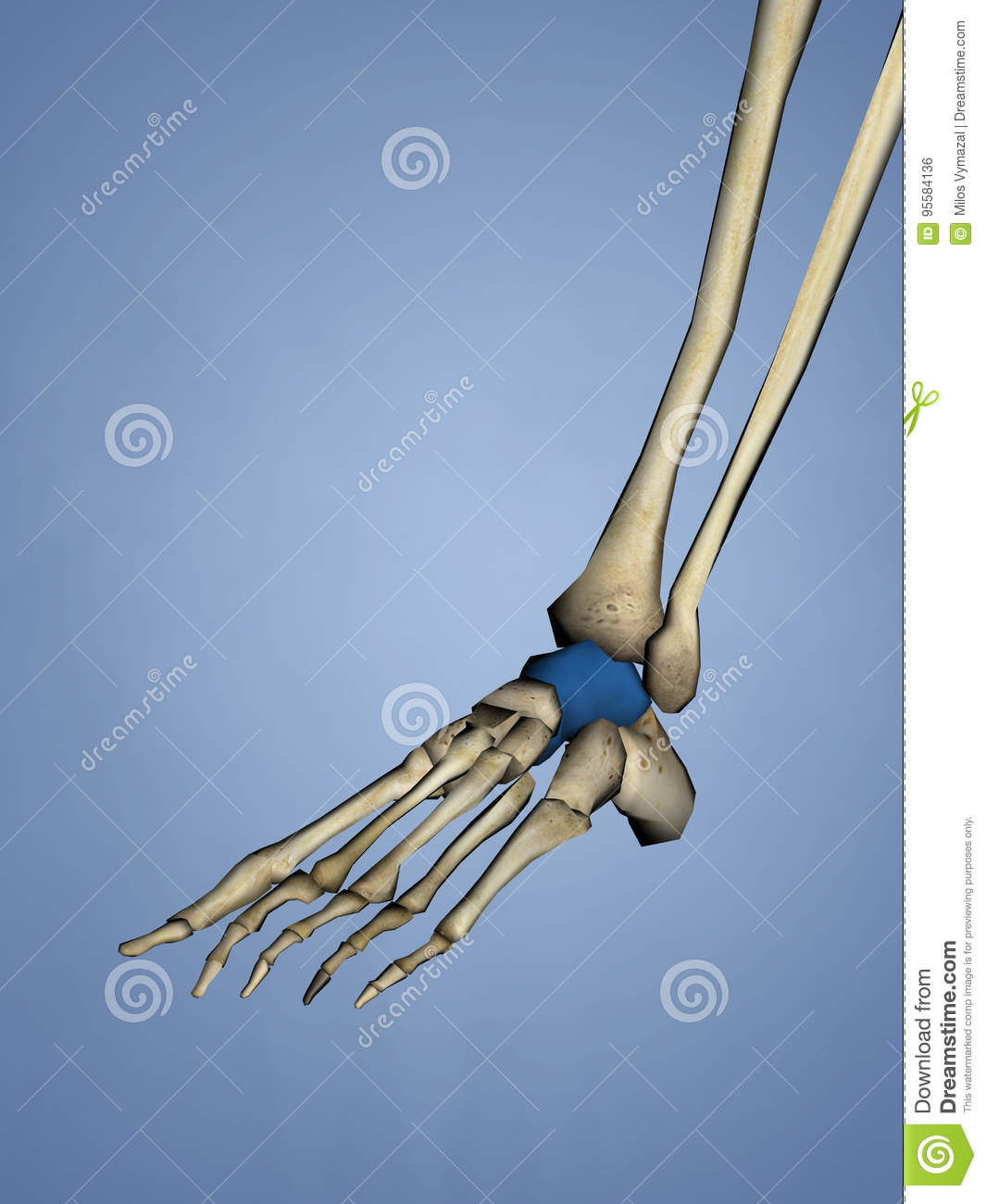 Talus Bone stock illustration. Illustration of anatomy - 95584136
