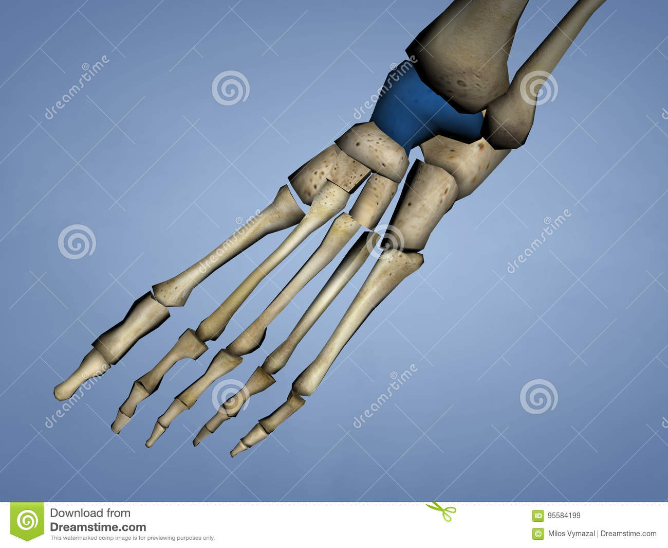 Talus Bone, 3D Model stock illustration. Illustration of anatomy ...