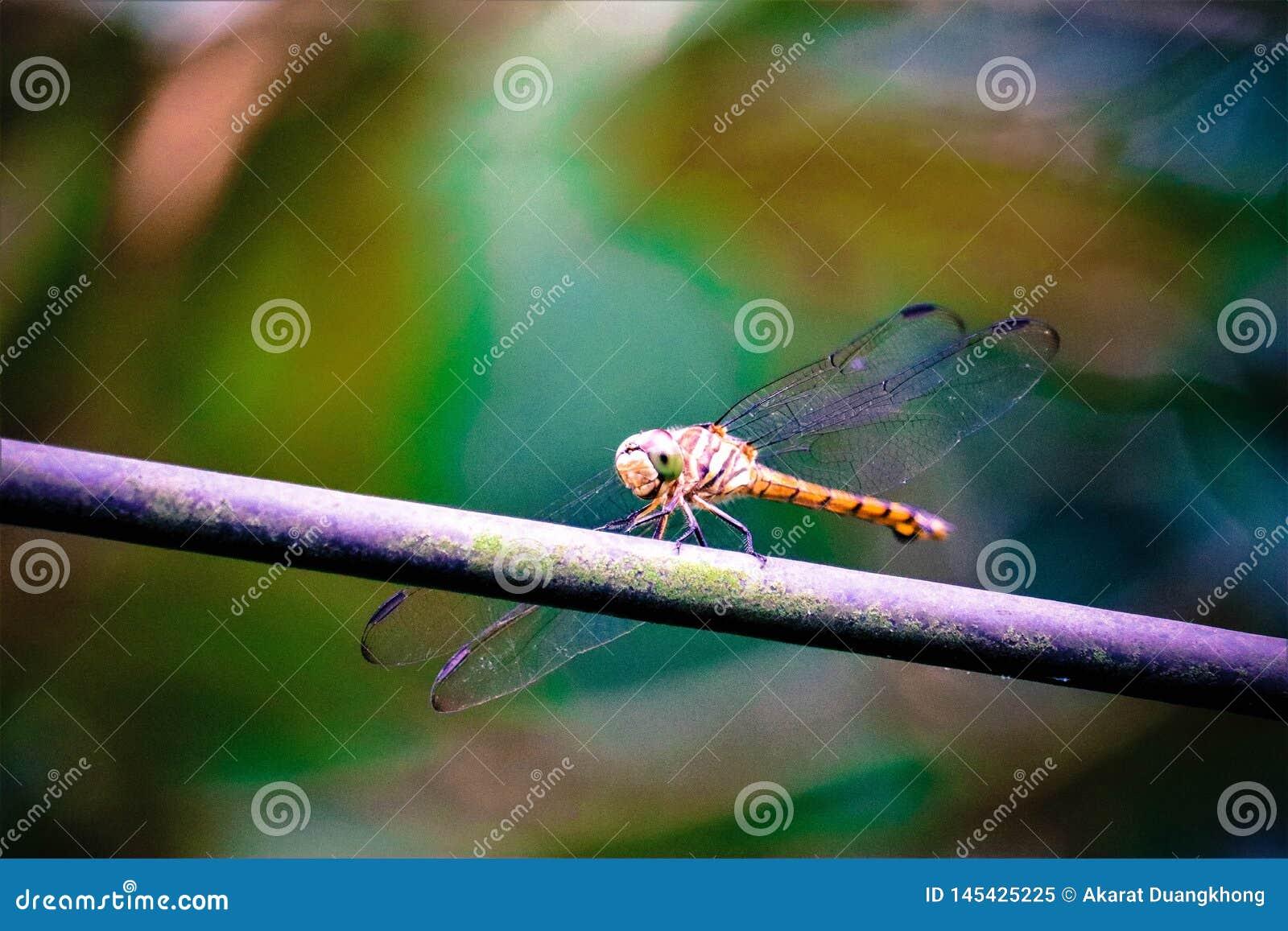 Tam jest dragonfly na gałąź