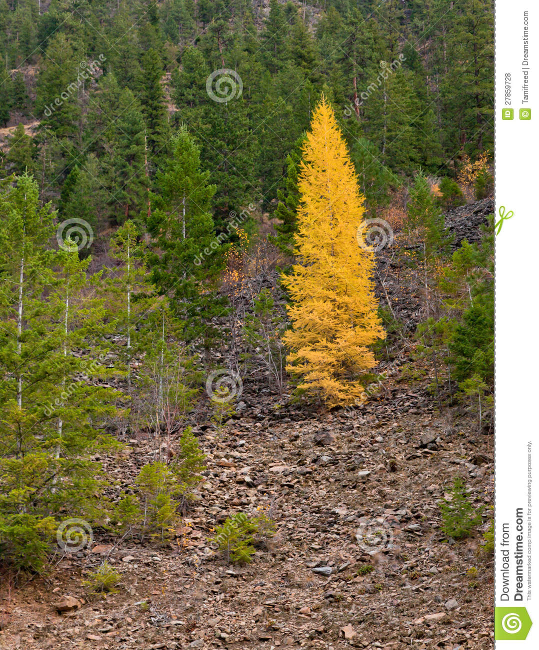 tamarack tree in fall colors stands in contrast to the other green ...