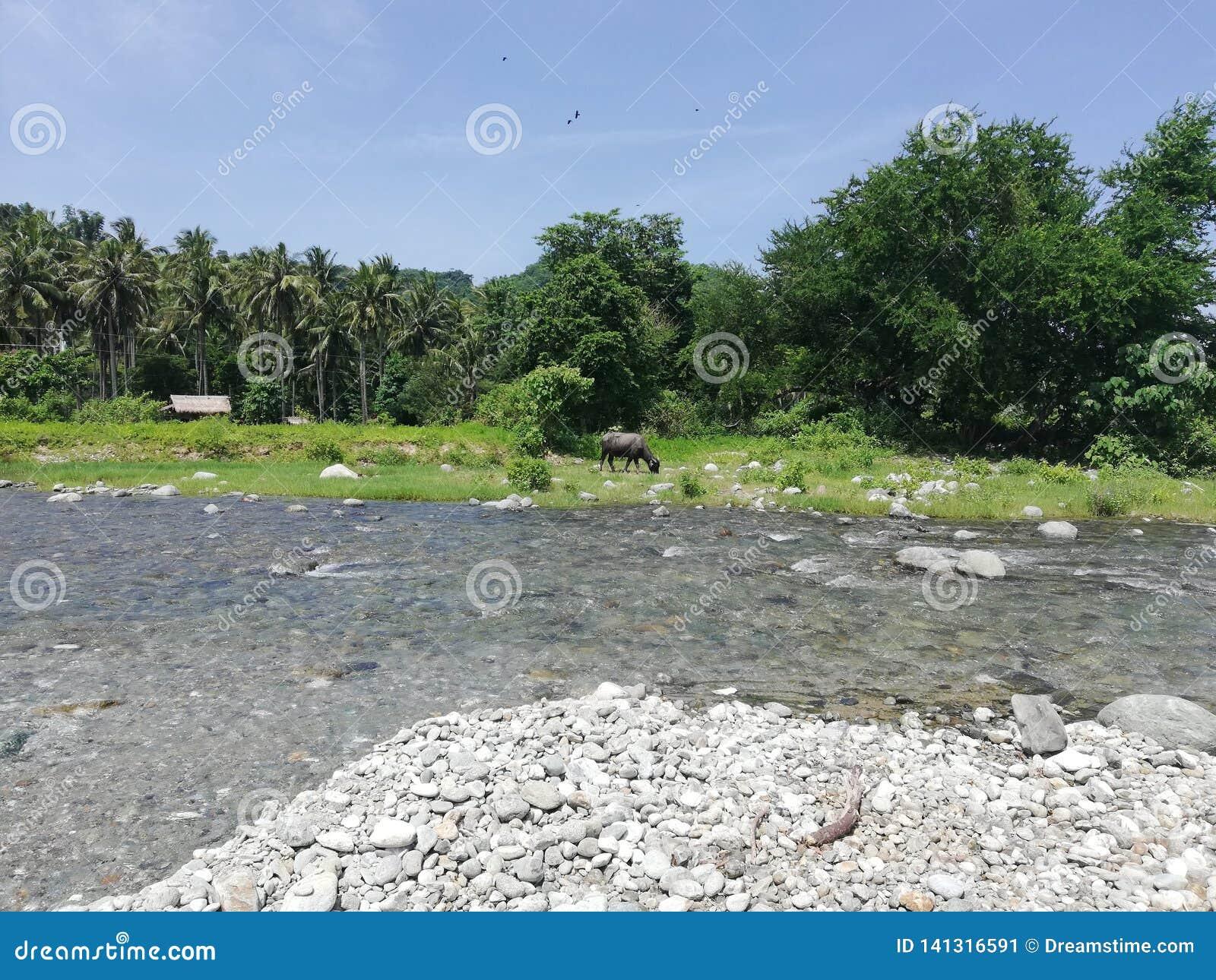 Tamaraw пася на береге реки в сельской тропической сельской местности Mindoro, Филиппин