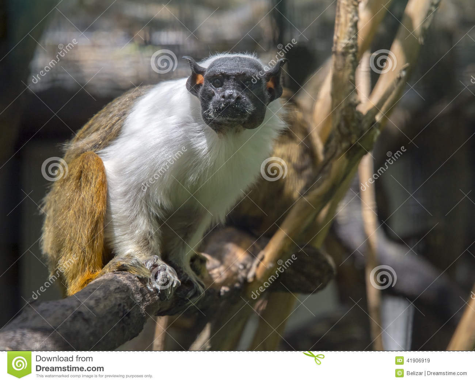 Tamarin de varios colores (Saguinus bicolor)
