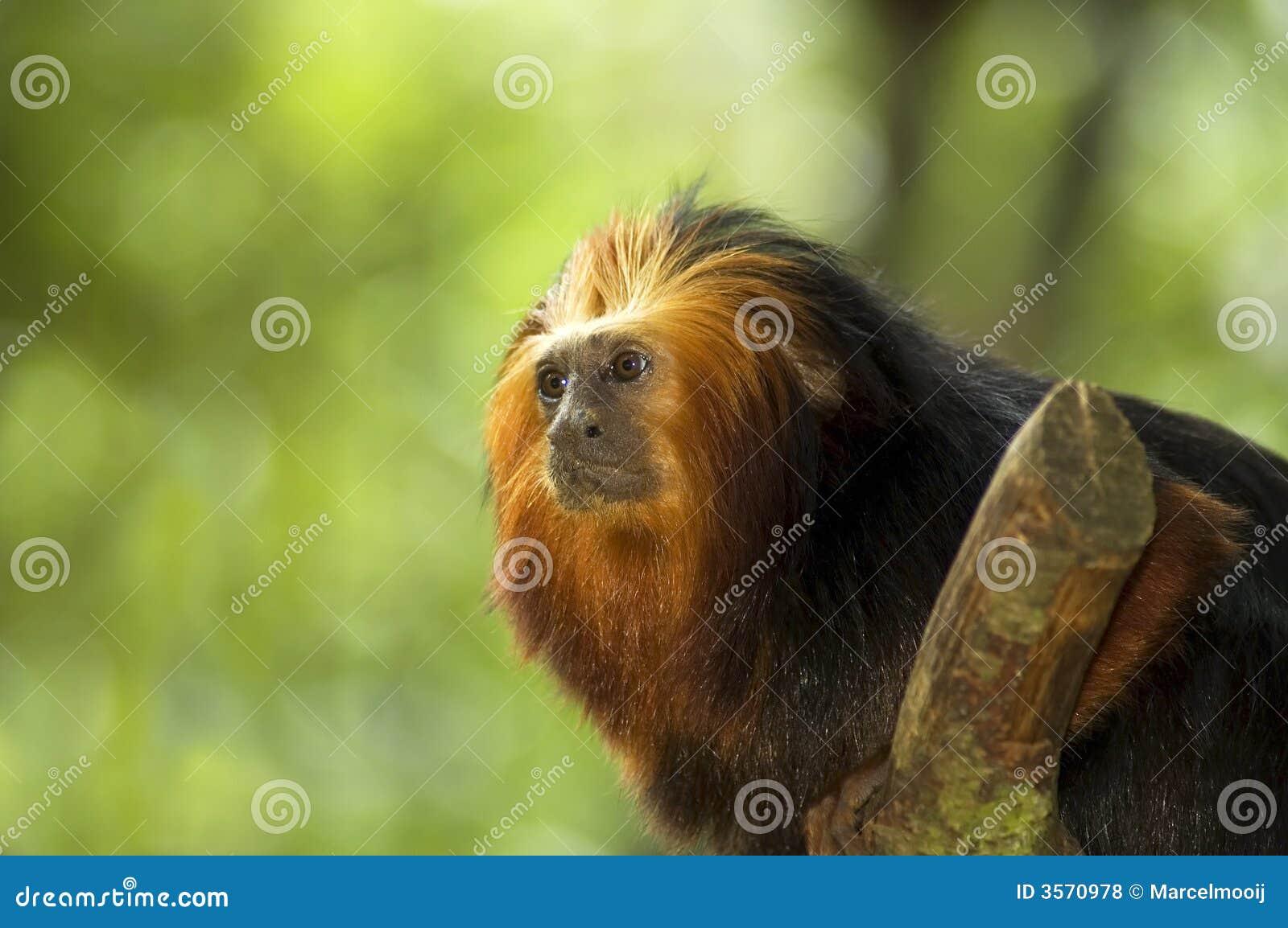 Tamarin Dorato-intestato del leone