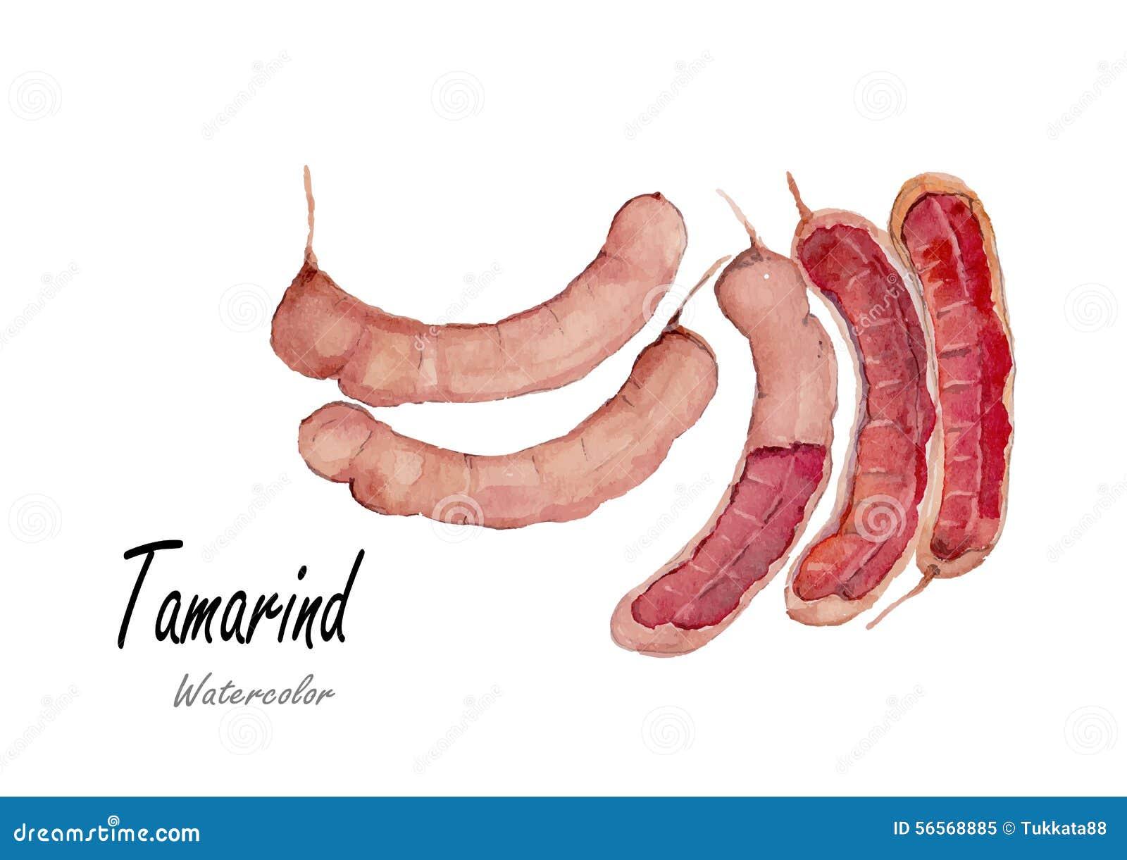 Download Tamarind Συρμένη χέρι ζωγραφική Watercolor στο άσπρο υπόβαθρο επίσης Corel σύρετε το διάνυσμα απεικόνισης Διανυσματική απεικόνιση - εικονογραφία από τροπικός, χέρι: 56568885