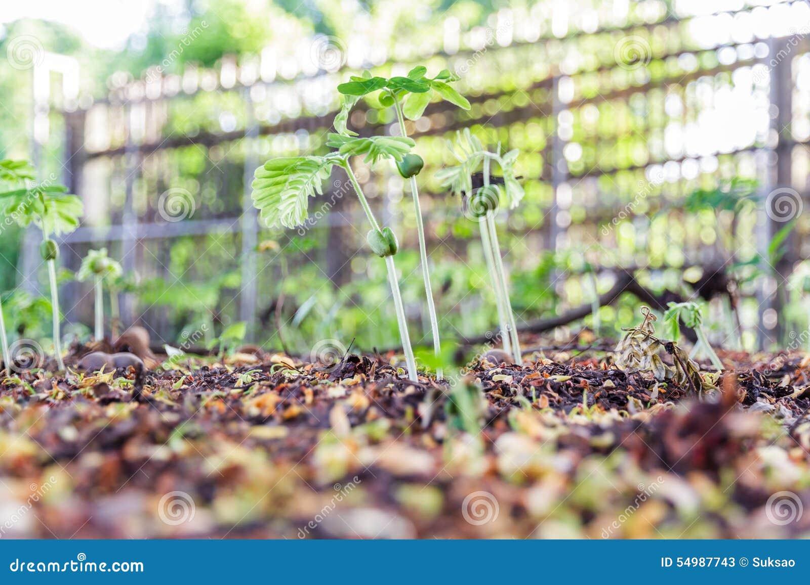 Tamarindfruktgrodd