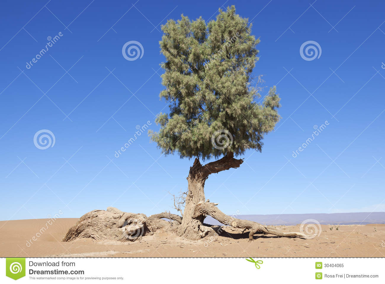 tamarisk tree tamarix articulata in the sahara desert royalty free stock photo image 30404065. Black Bedroom Furniture Sets. Home Design Ideas
