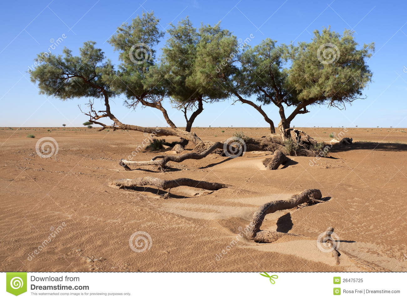 tamarisk trees tamarix articulata in the desert royalty free stock photo image 26475725. Black Bedroom Furniture Sets. Home Design Ideas