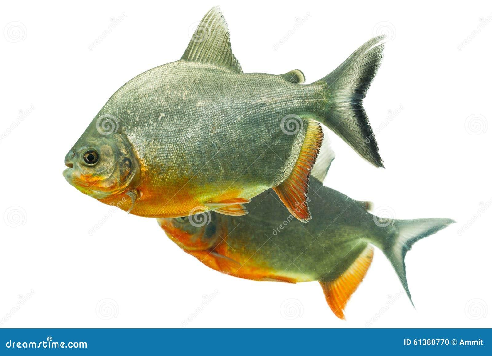 Tambaqui fish pair stock photo image 61380770 for Pez cachama