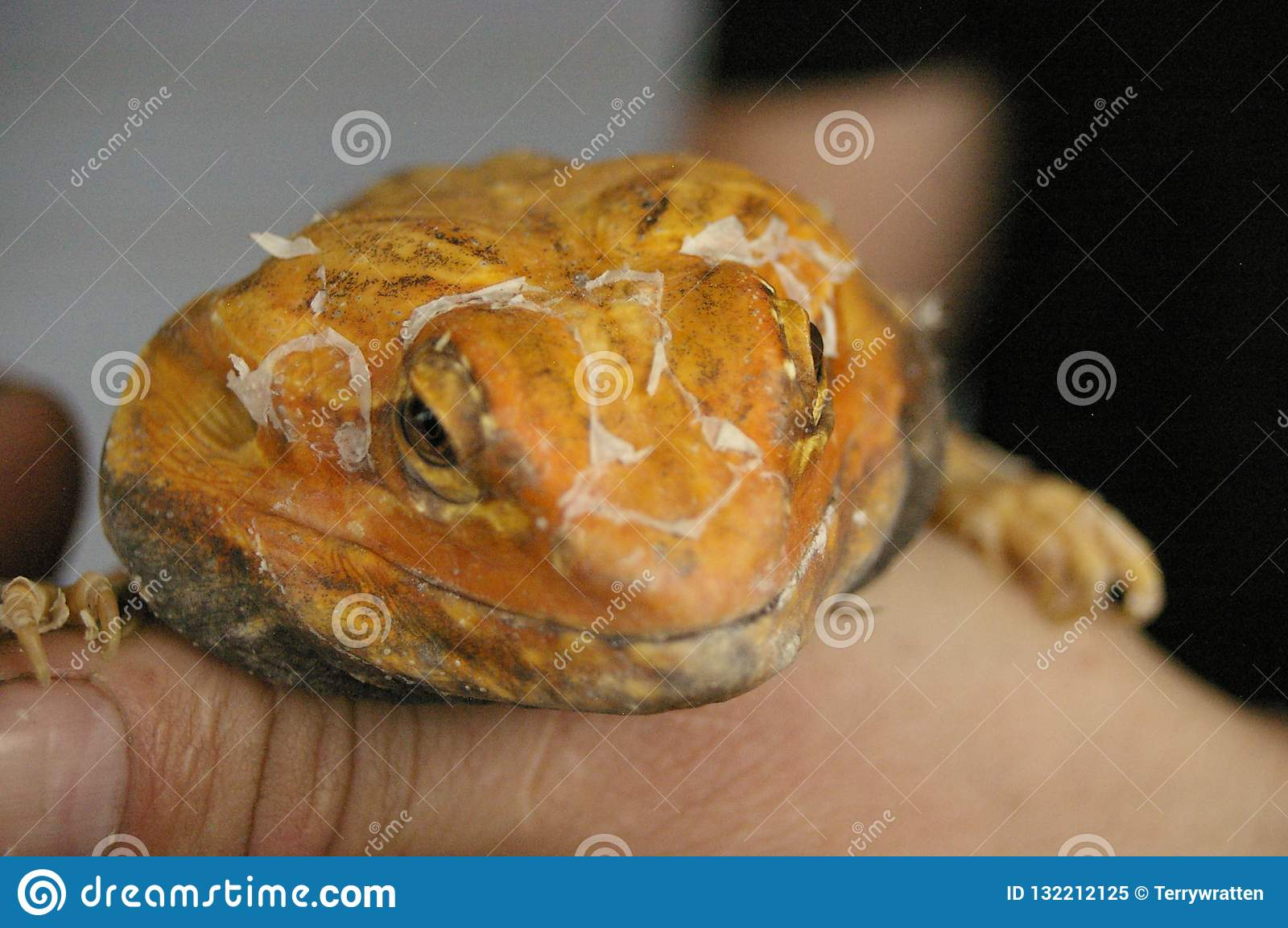 tame, captive, native orange leather back bearded dragon