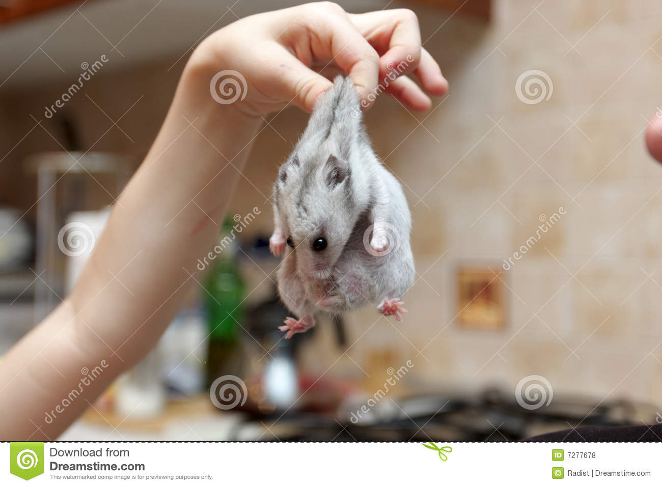 Tame Hamster Royalty Free Stock Photos - Image: 7277678
