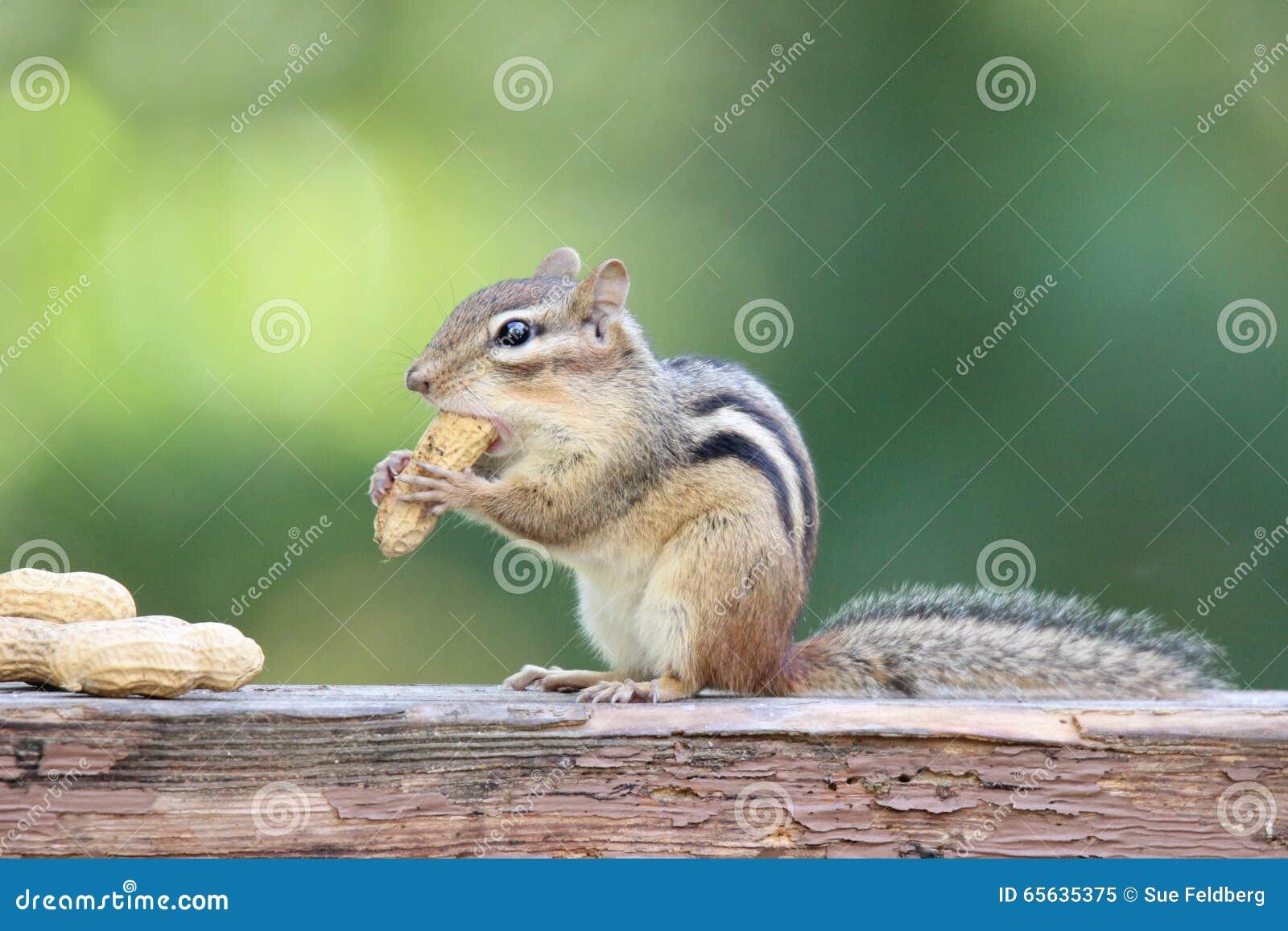 Tamia avec des arachides