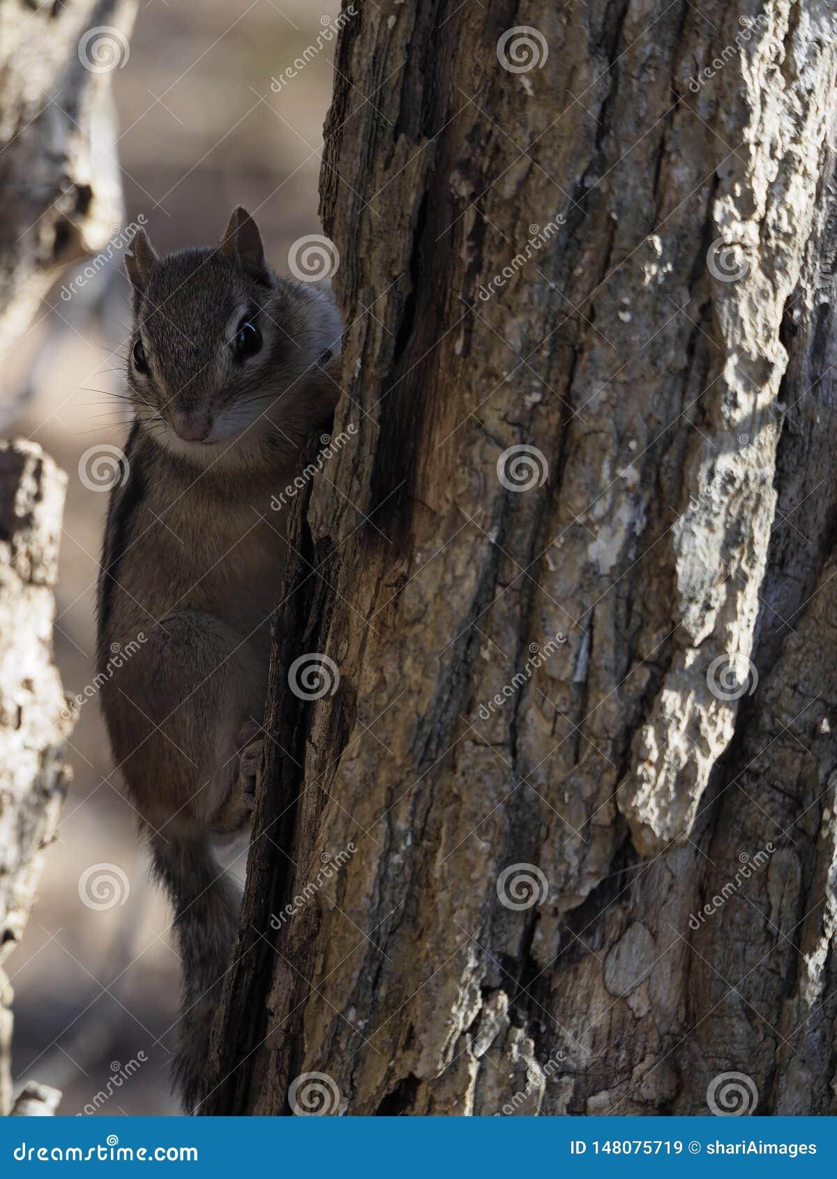 Tamia mignonne sur l arbre se cachant dans les ombres