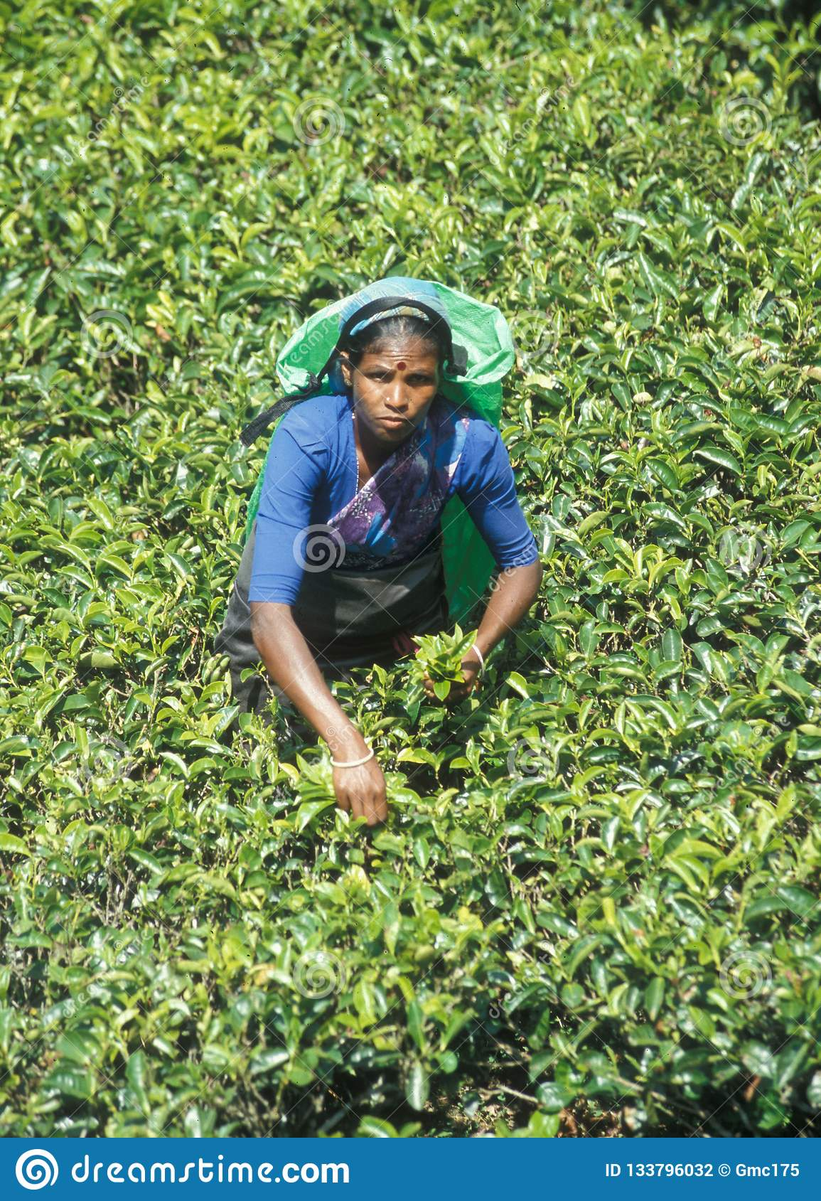 Tamil women labours working in the Tea Plants of Sri Lanka