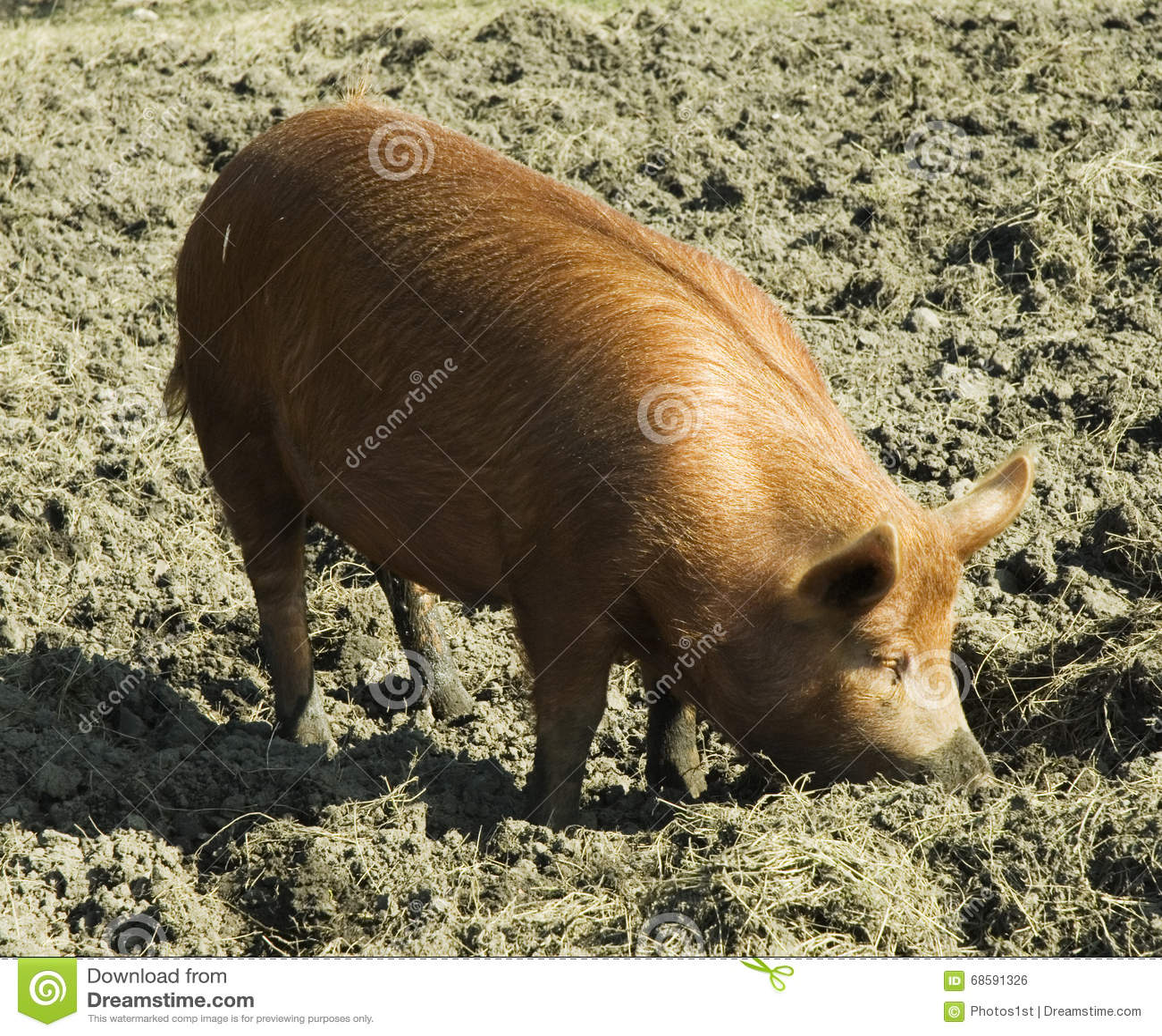 Tamworth Pig Stock Photo Image Of Tamworth Behind Sunny