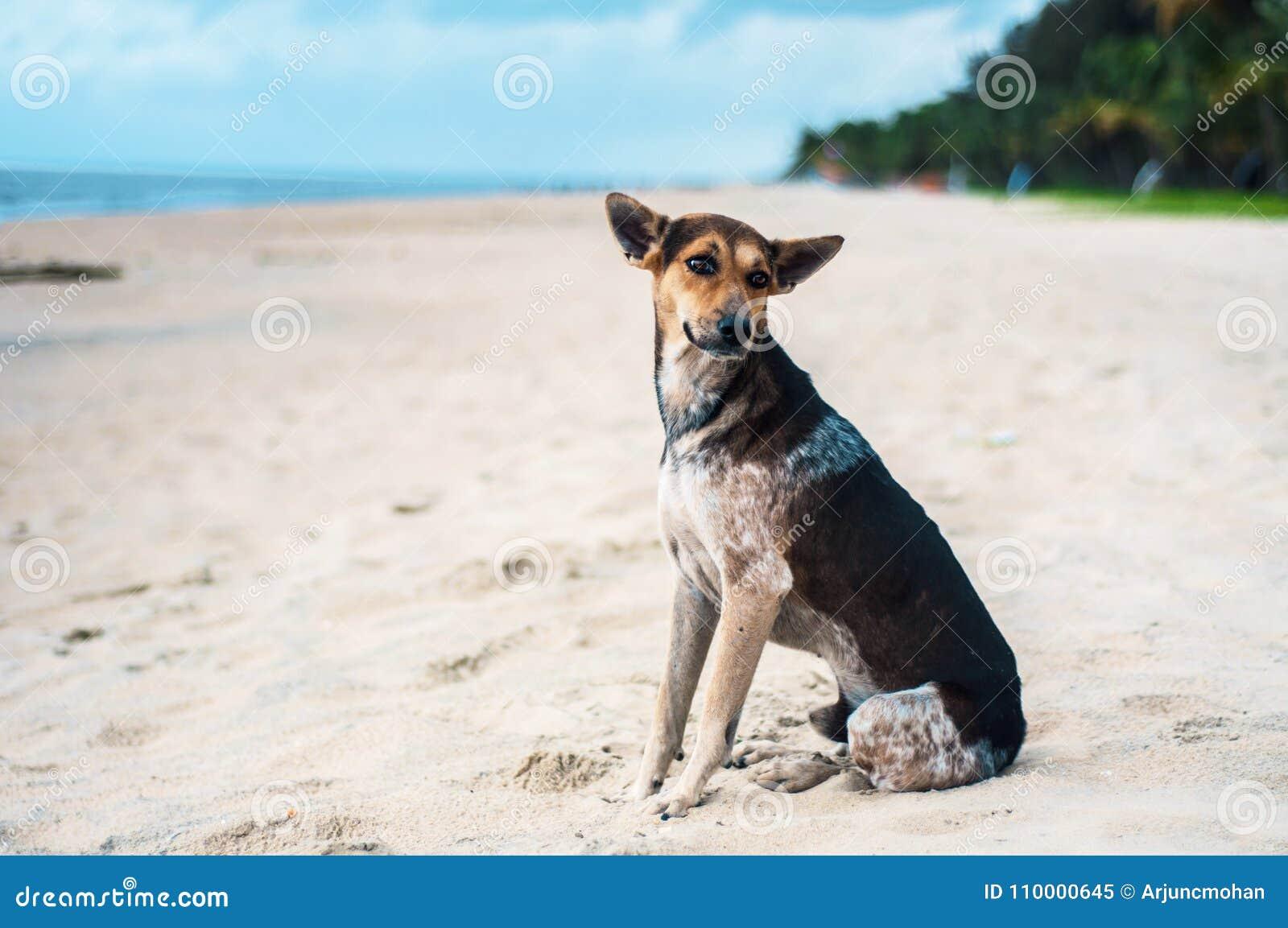 Tan And Black Stray Dog At A Beach In Kerala, India  Stock