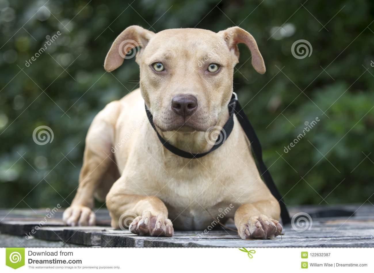 Pitbull Puppy Dog Adoption Portrait Stock Image Image Of Leash
