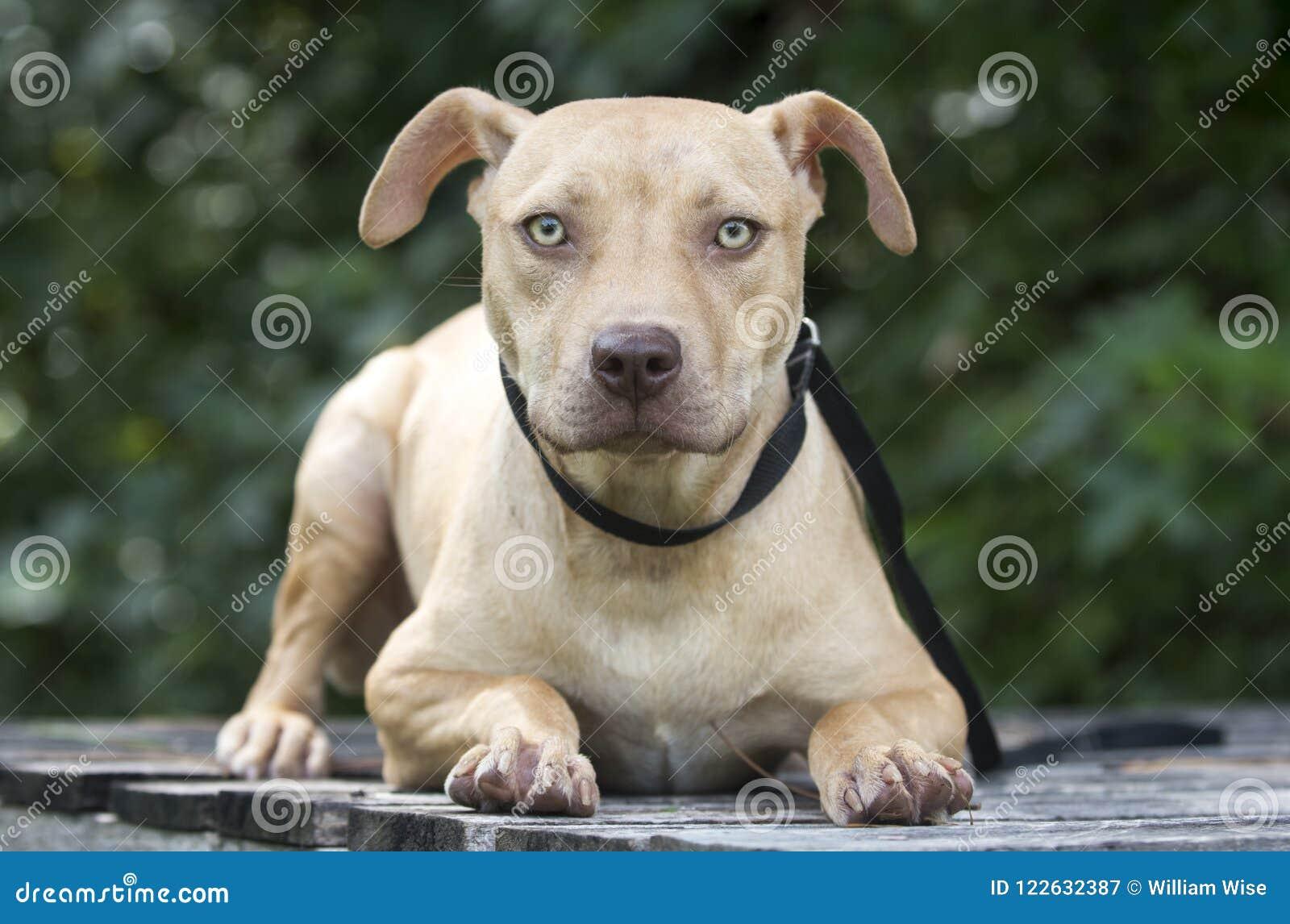 Pitbull Puppy Dog Adoption Portrait Stock Image - Image of