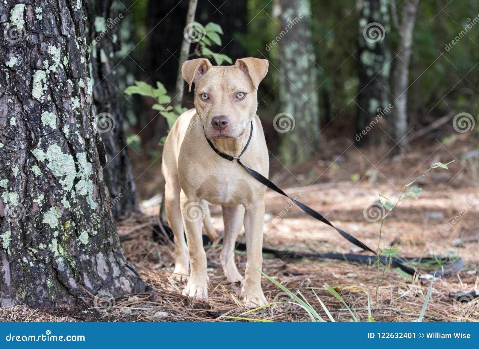 Pitbull Puppy Dog Outside On Leash Stock Image - Image of