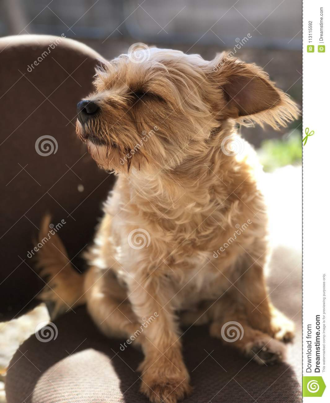 Bibbles The Norfolk terrier