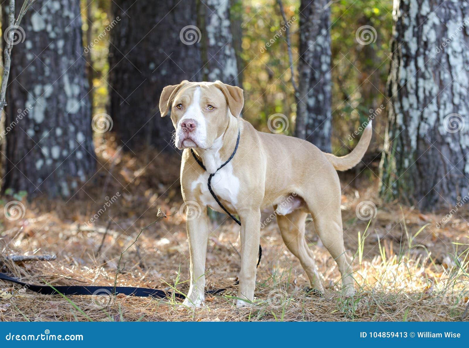 American Bulldog Mastiff Mix Dog Stock Image - Image of