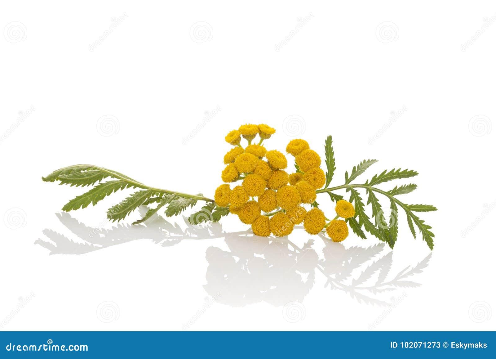 Tanaceto, tanacetum vulgare