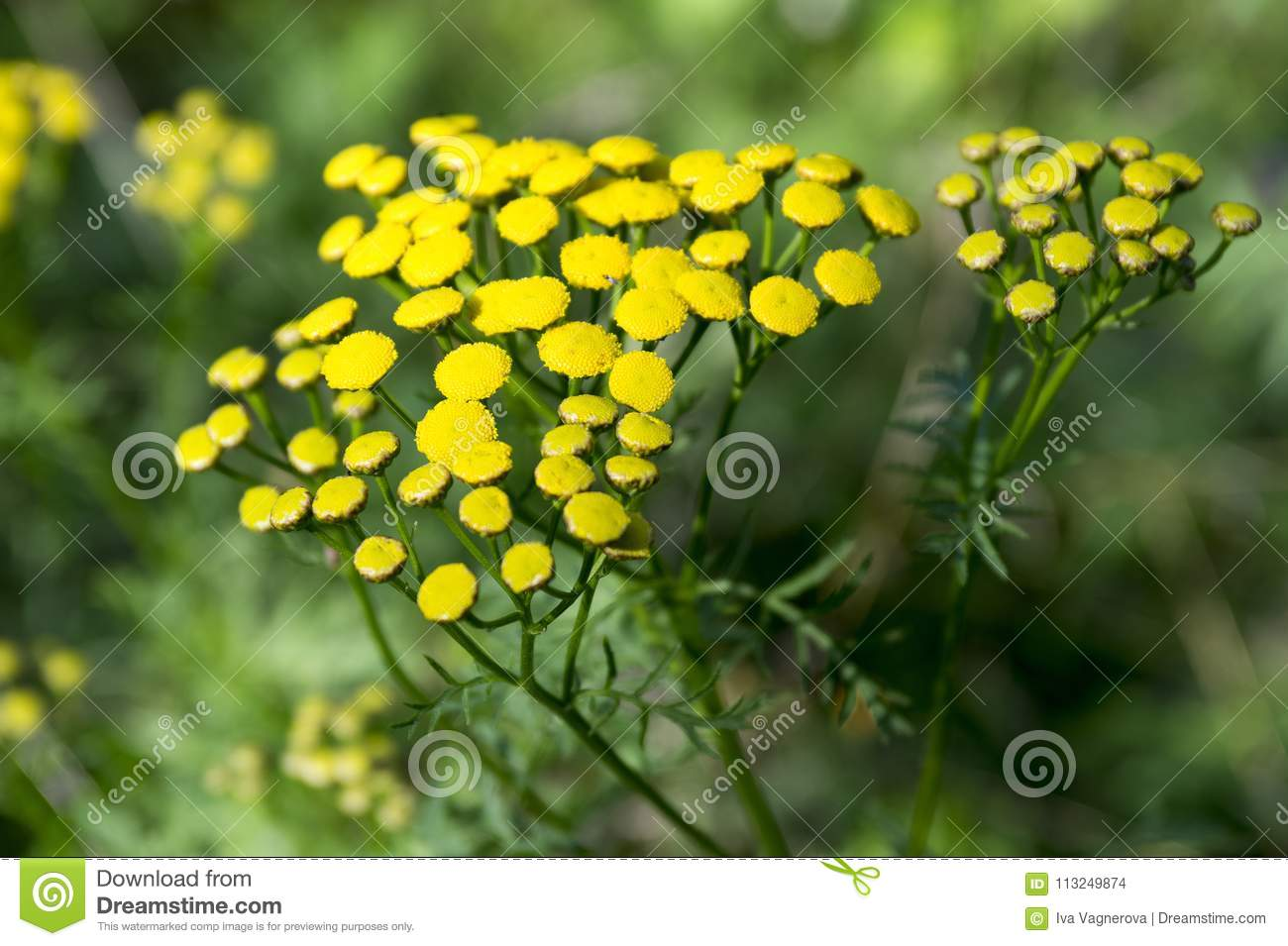 Tanacetum Vulgare Wild Meadow Flowering Plant With Yellow Flowers