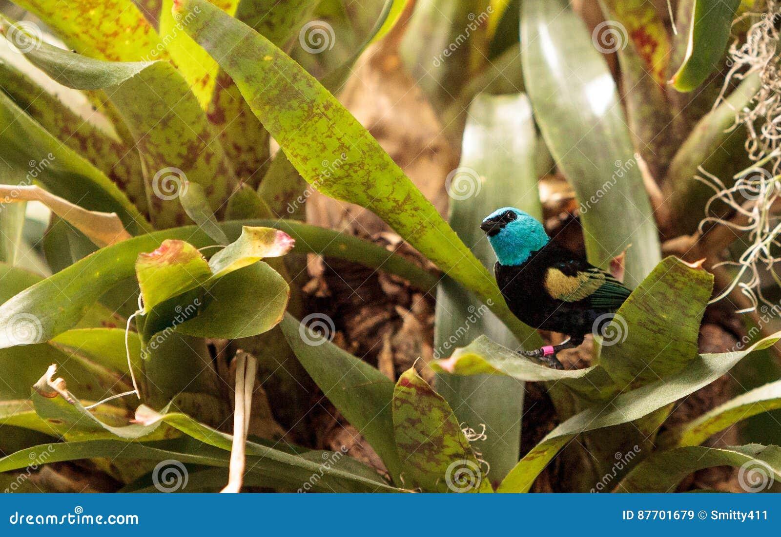 Tanager étranglé bleu scientifiquement connu sous le nom de cyanicoilis de Tangara