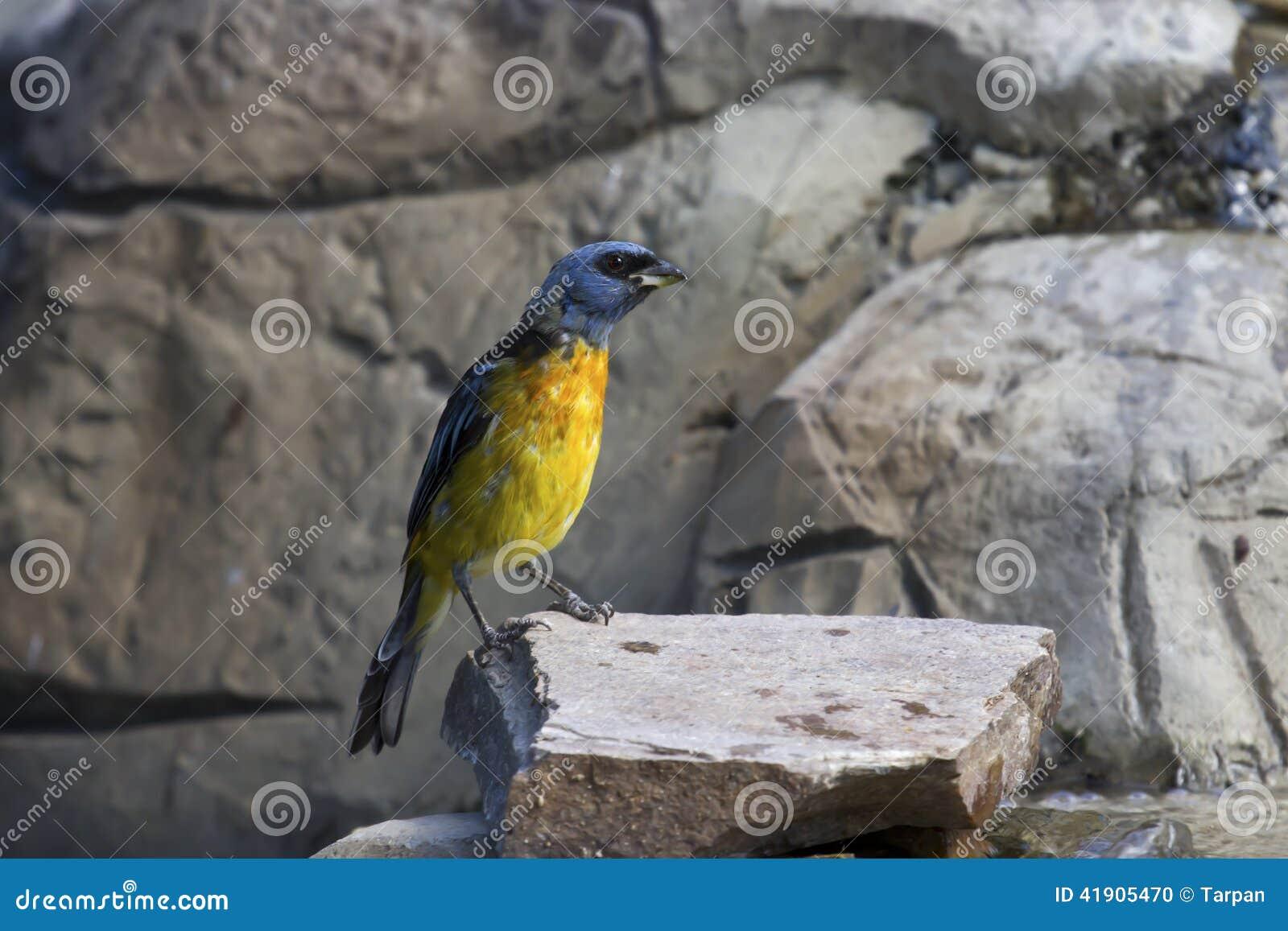 Tanager Azul-y-amarillo que se sienta en un afloramiento rocoso