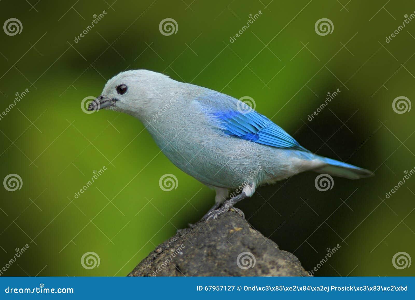 Tanager Blu-grigio, forma blu tropicale esotica Panama dell uccello