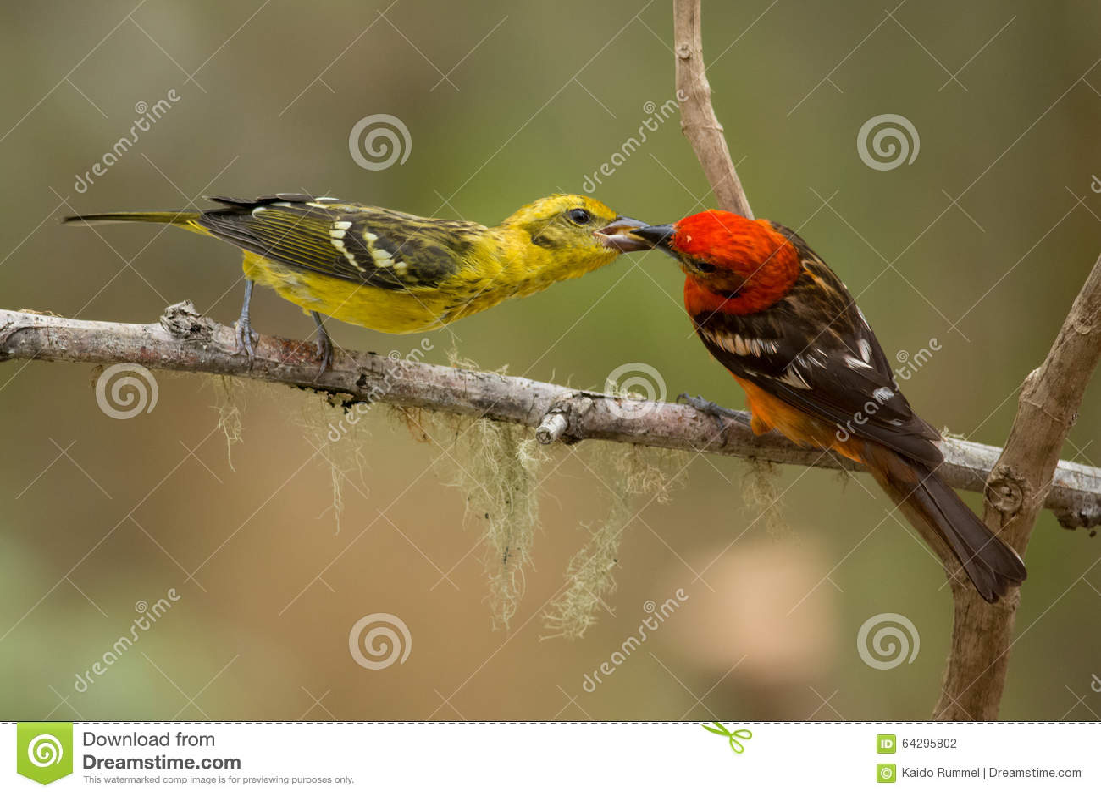 Tanager Chama-colorido