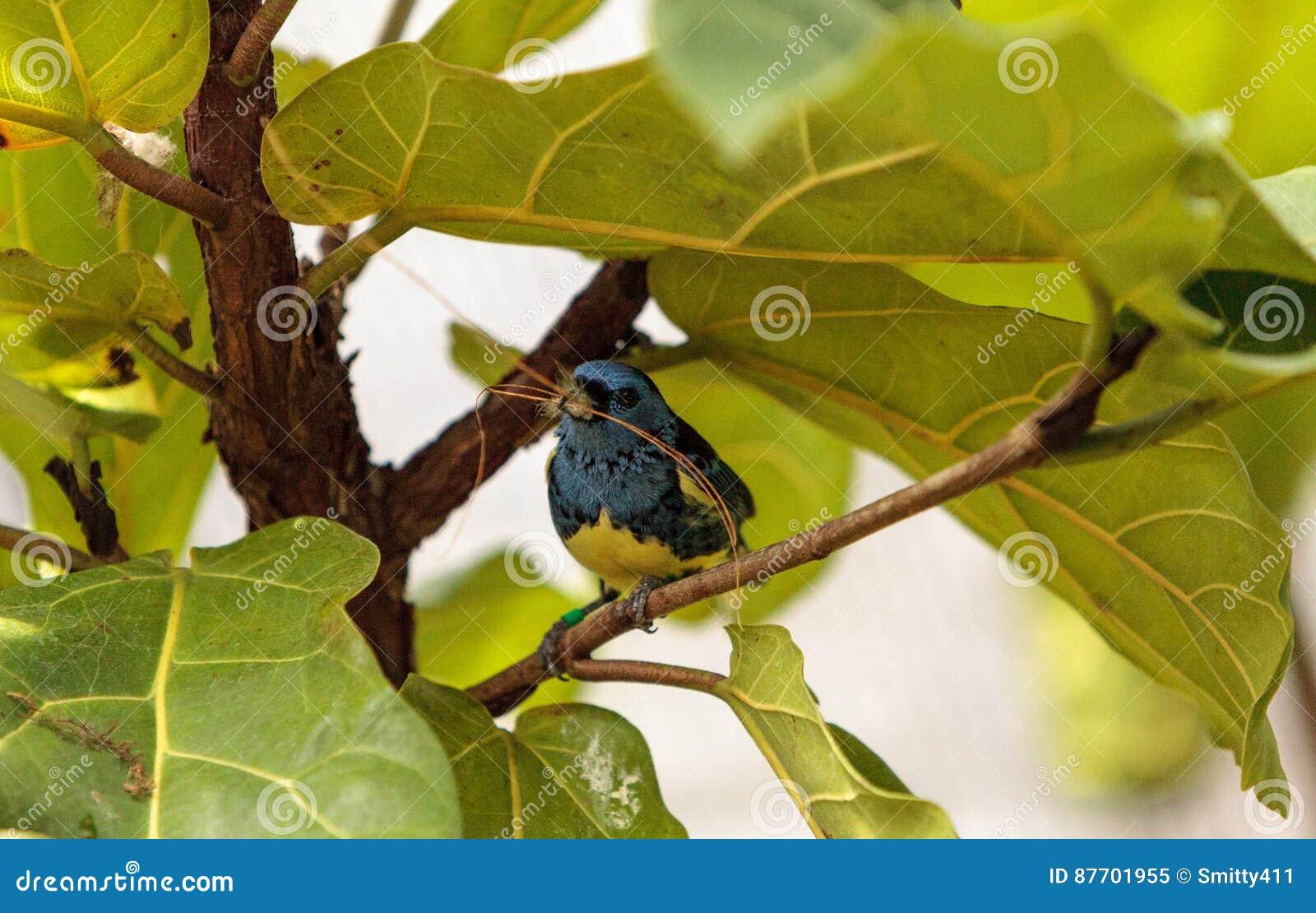 Tanager de turquoise connu sous le nom de mexicana de Tangara
